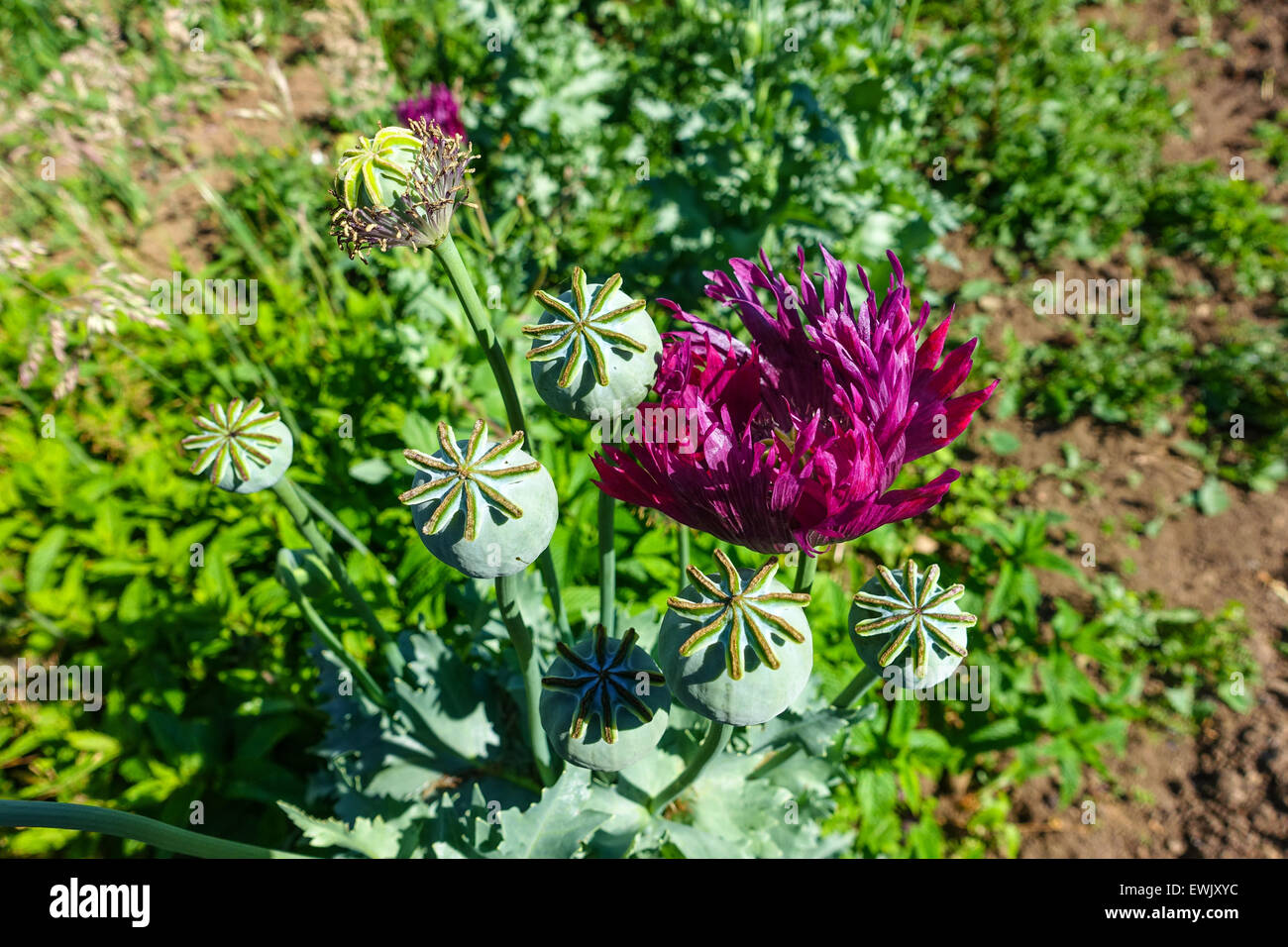 Heroin opium poppy stock photos heroin opium poppy stock images poppy flowers and poppy seed heads opium drugs war on drugs heroin mightylinksfo