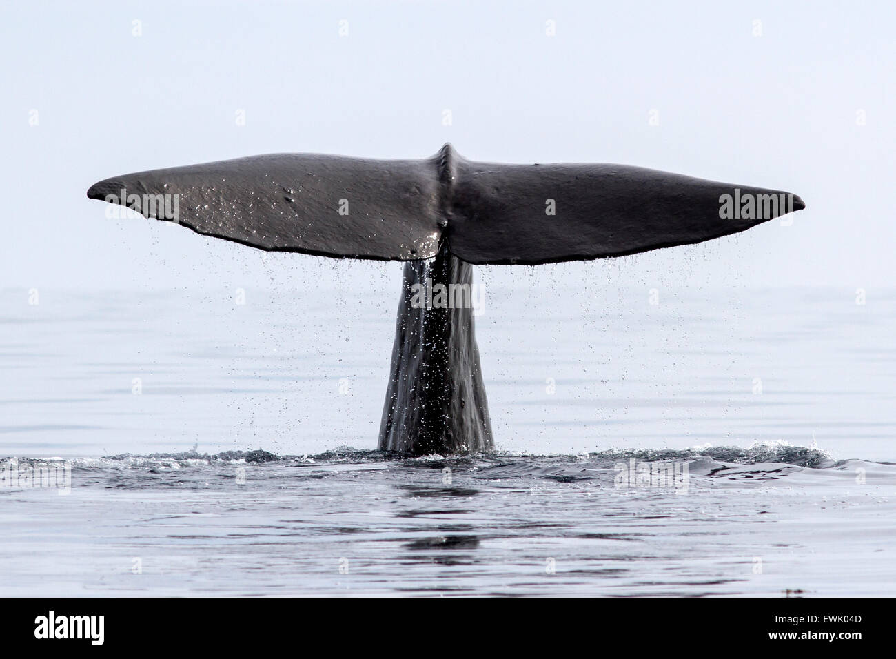 the tail of the sperm whale that dives into the waters of the Pacific Ocean - Stock Image