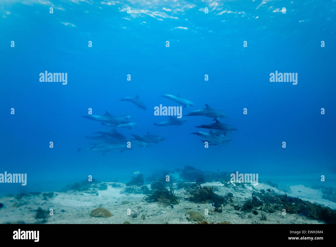 Pod of 14 wild common bottlenose dolphin (Tursiops truncatus) swimming underwater near coral reef - Stock Image