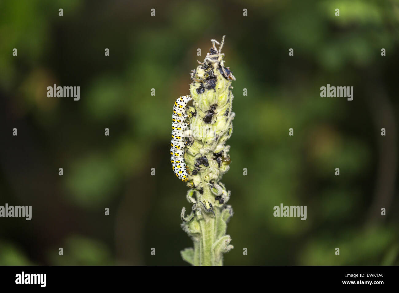 Caterpillar of the mullein moth, Cucullia verbasci, a Palearctic noctuid moth, feeding on verbascum in a Surrey - Stock Image
