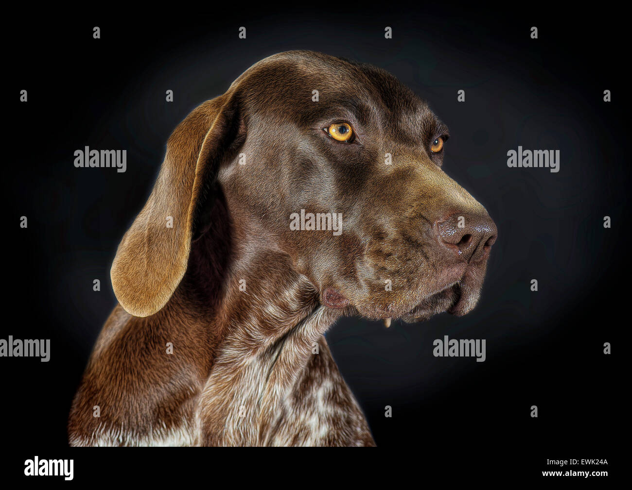 Beautiful portrait of a German Shorthaired Pointer - Stock Image
