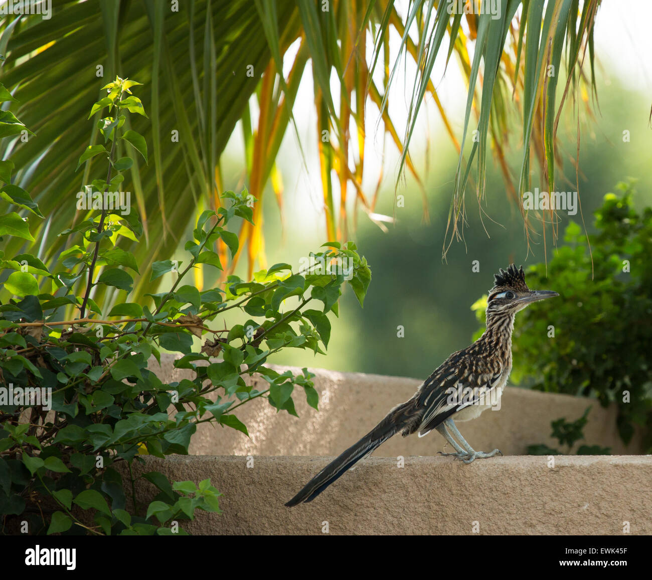 Roadrunner on a ledge with palm fronds - Stock Image