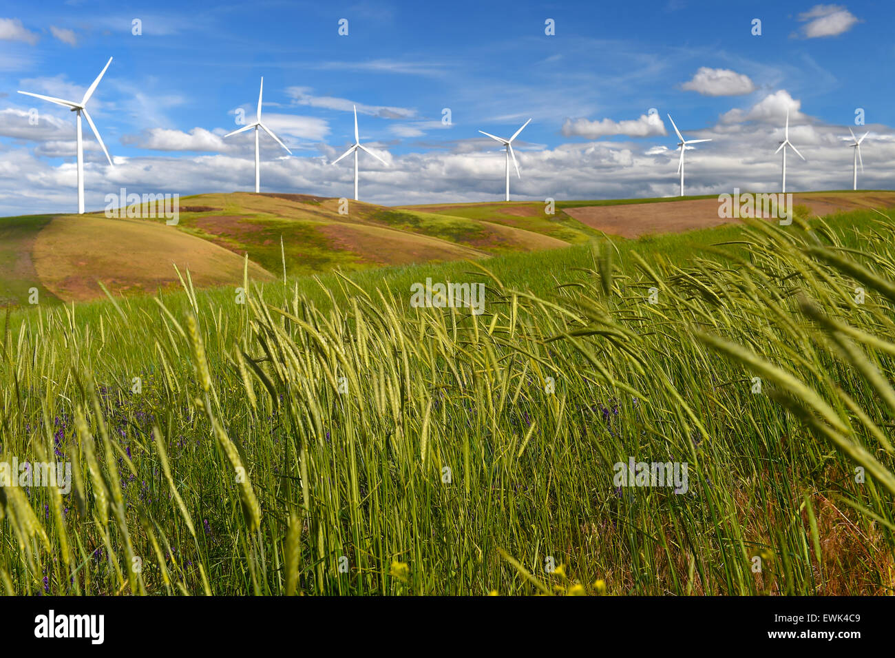 wind farm turbines on hill contrast green grass and blue sky, washington state, united states - Stock Image