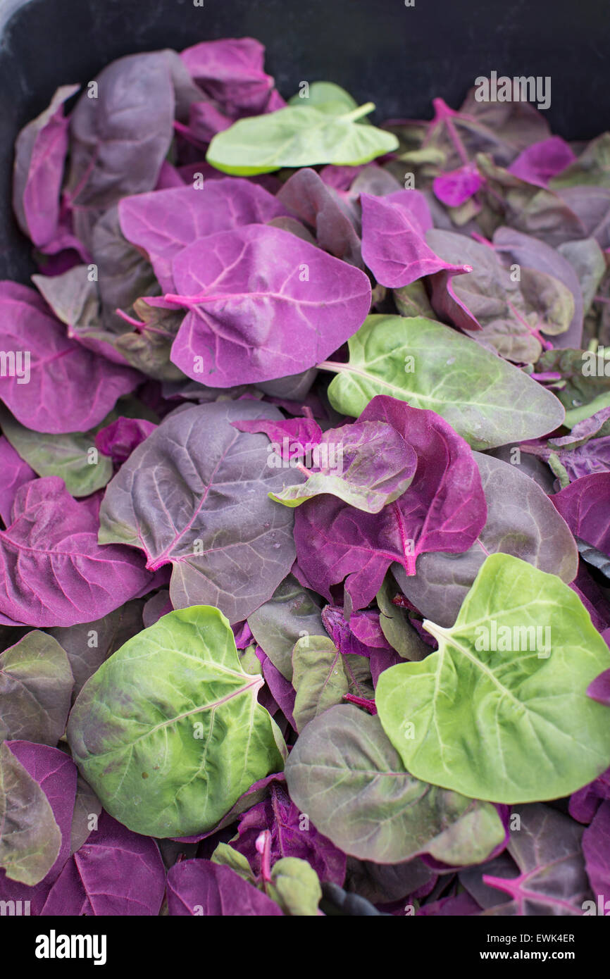 Multi-colored leafy greens for salad mix at Sebastopol farmer's market, Sonoma County, California - Stock Image