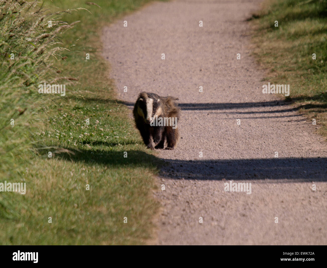 Badger,  Meles meles, on the towpath of the Bridgwater and Taunton canal, Somerset, UK - Stock Image