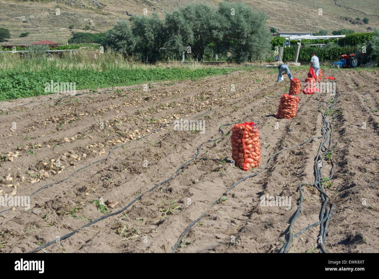 Collection and packaging of Greek fresh organic potatoes in red (sacks) sackloths. Thanos village, Limnos island, - Stock Image