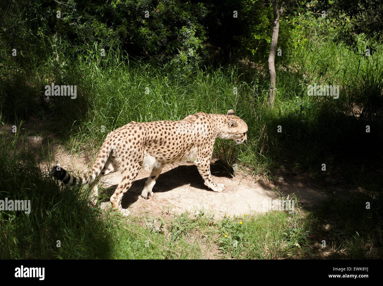 A Cheetah In Captivity At The Reserve Africaine De Sigean In Stock Photo Alamy