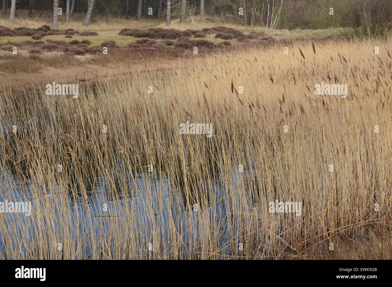 dune landscape, North Holland, Netherlands - Stock Image
