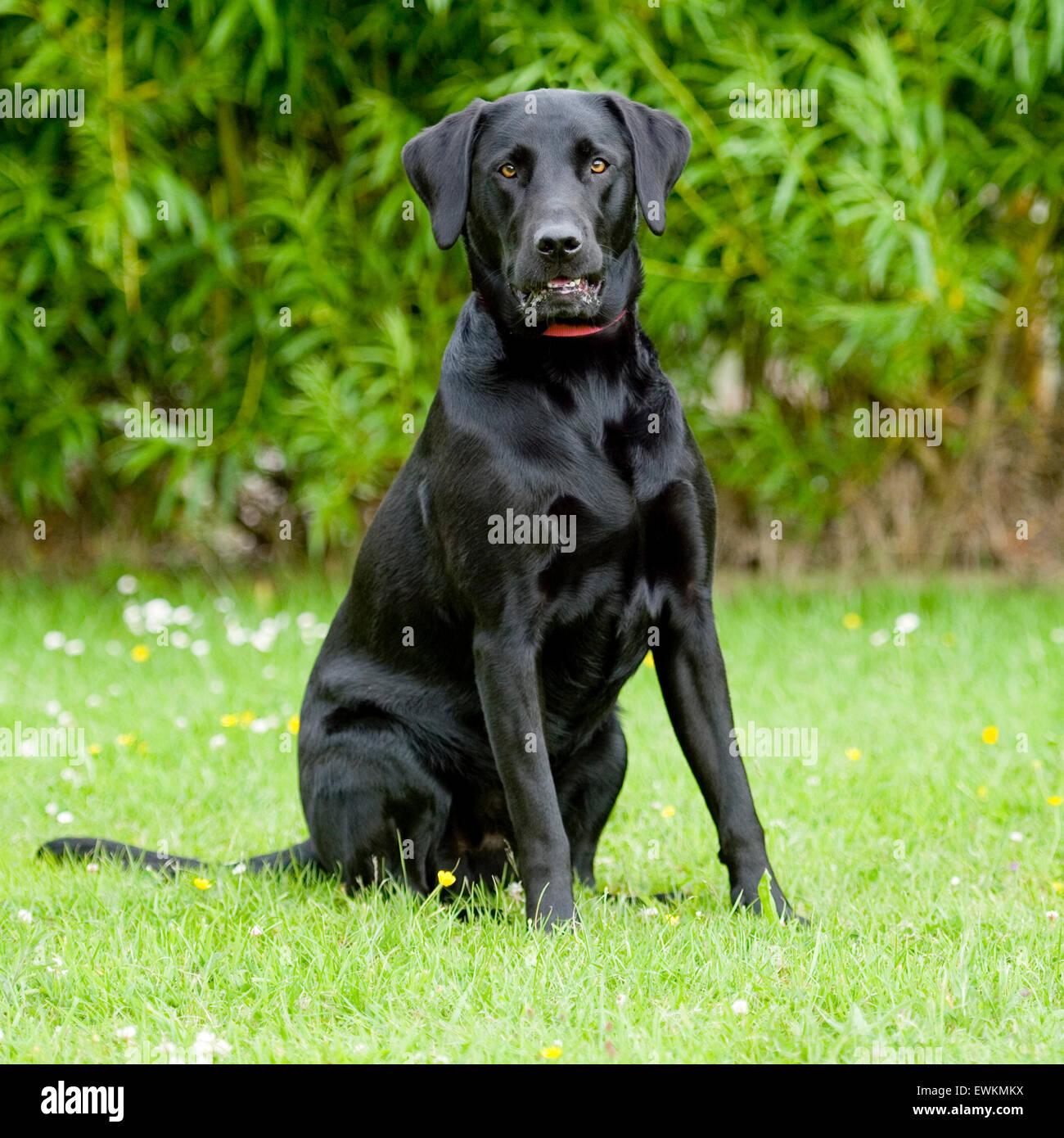 black labrador retriever - Stock Image