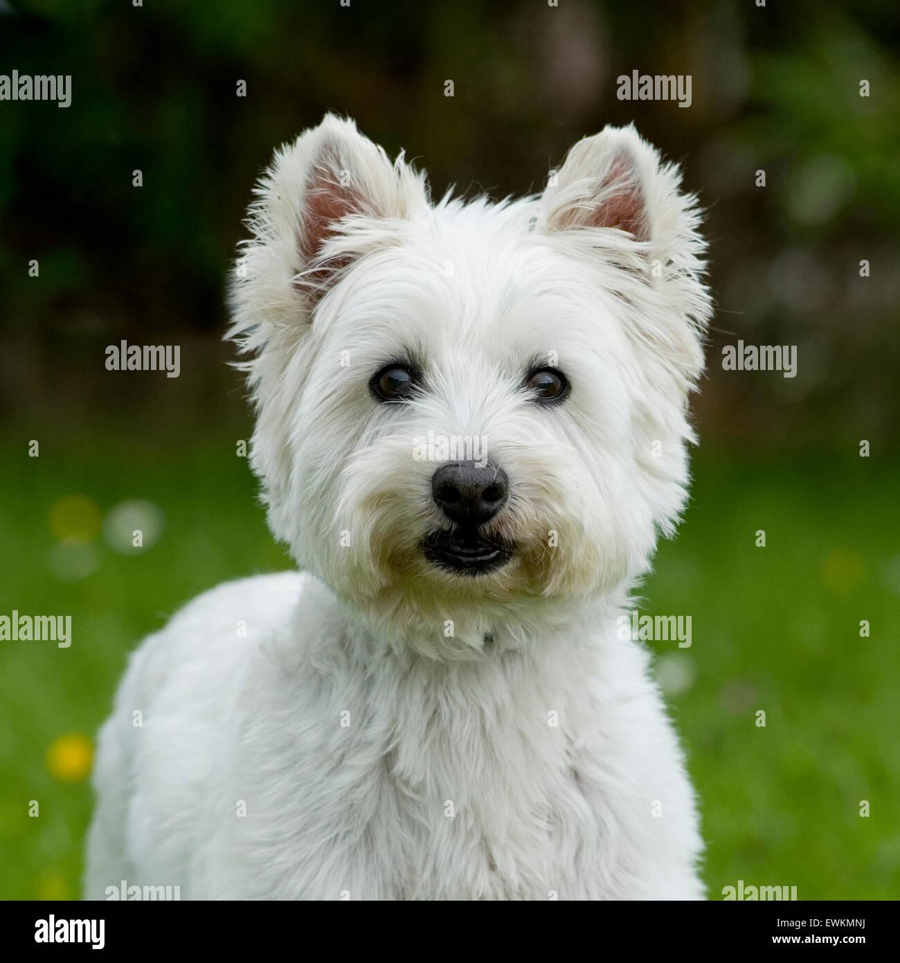 west highland white terrier - Stock Image