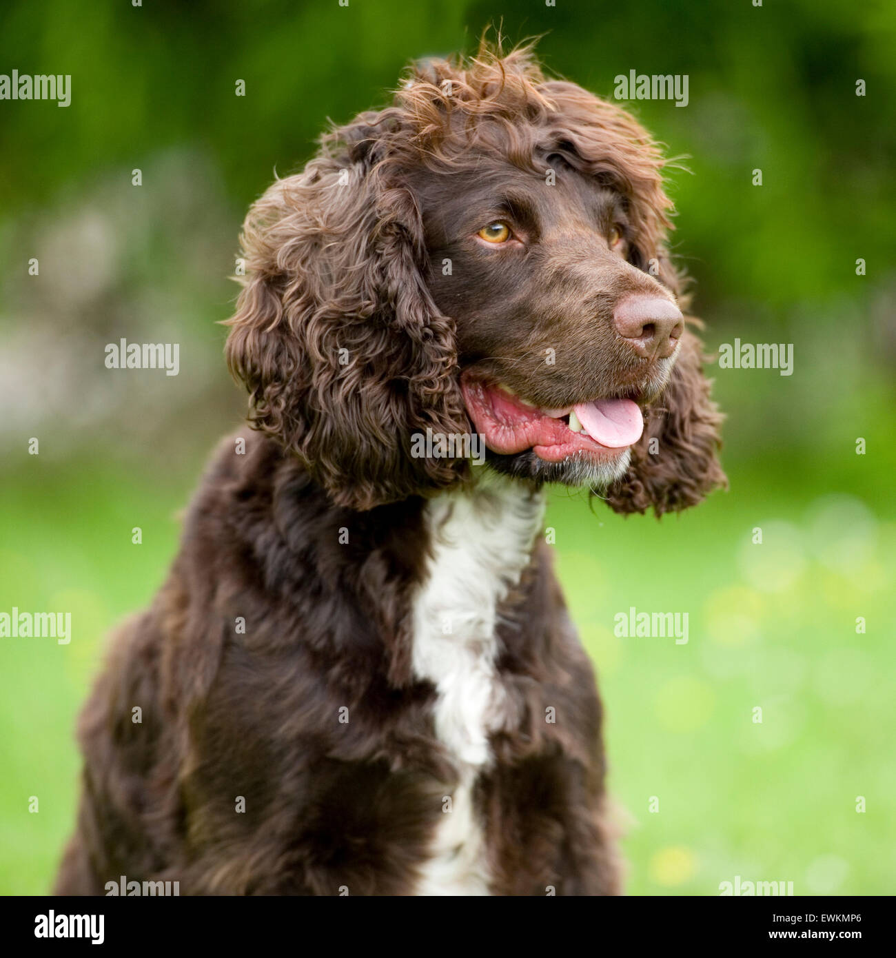 working type cocker spaniel dog - Stock Image