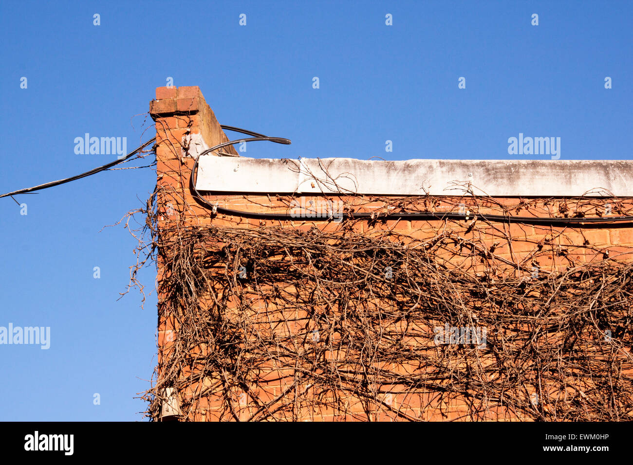 cable and dry creeper on side of red brick building - Stock Image
