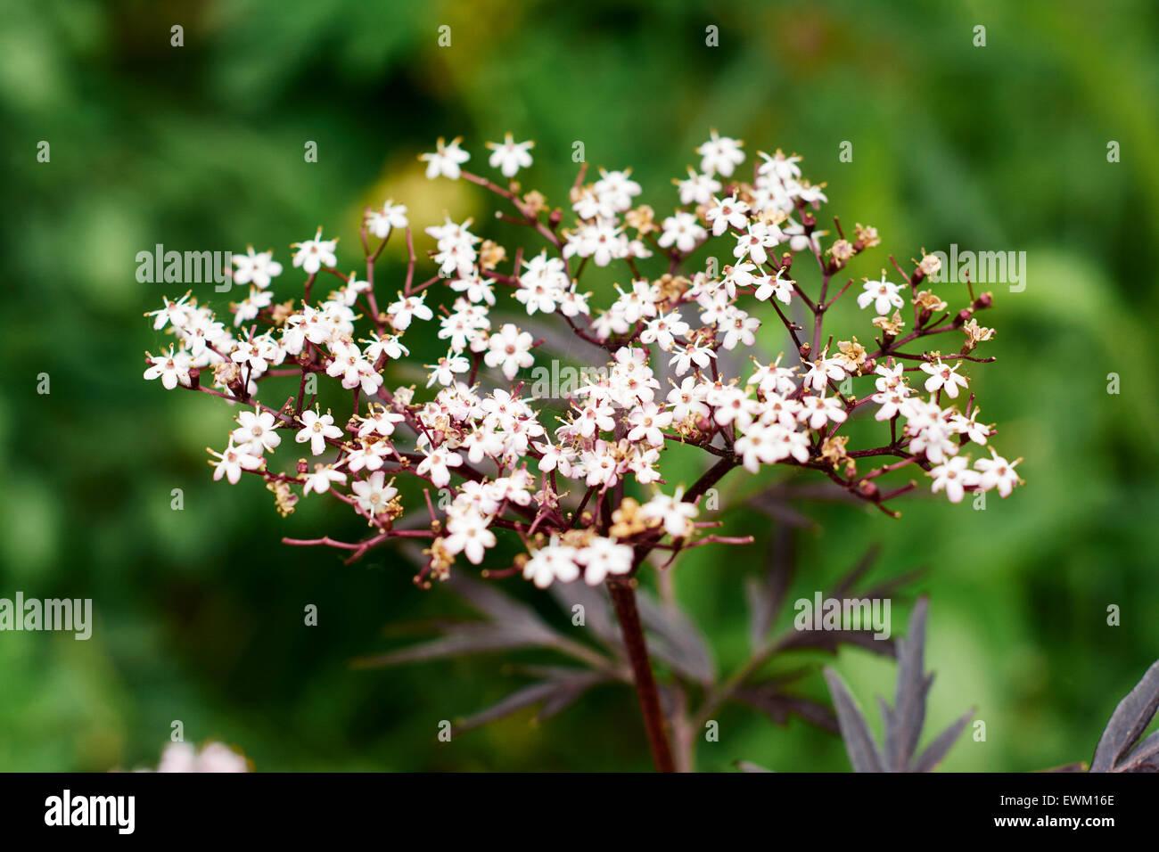 Tiny pink flowes of a purple elderberry bush Stock Photo