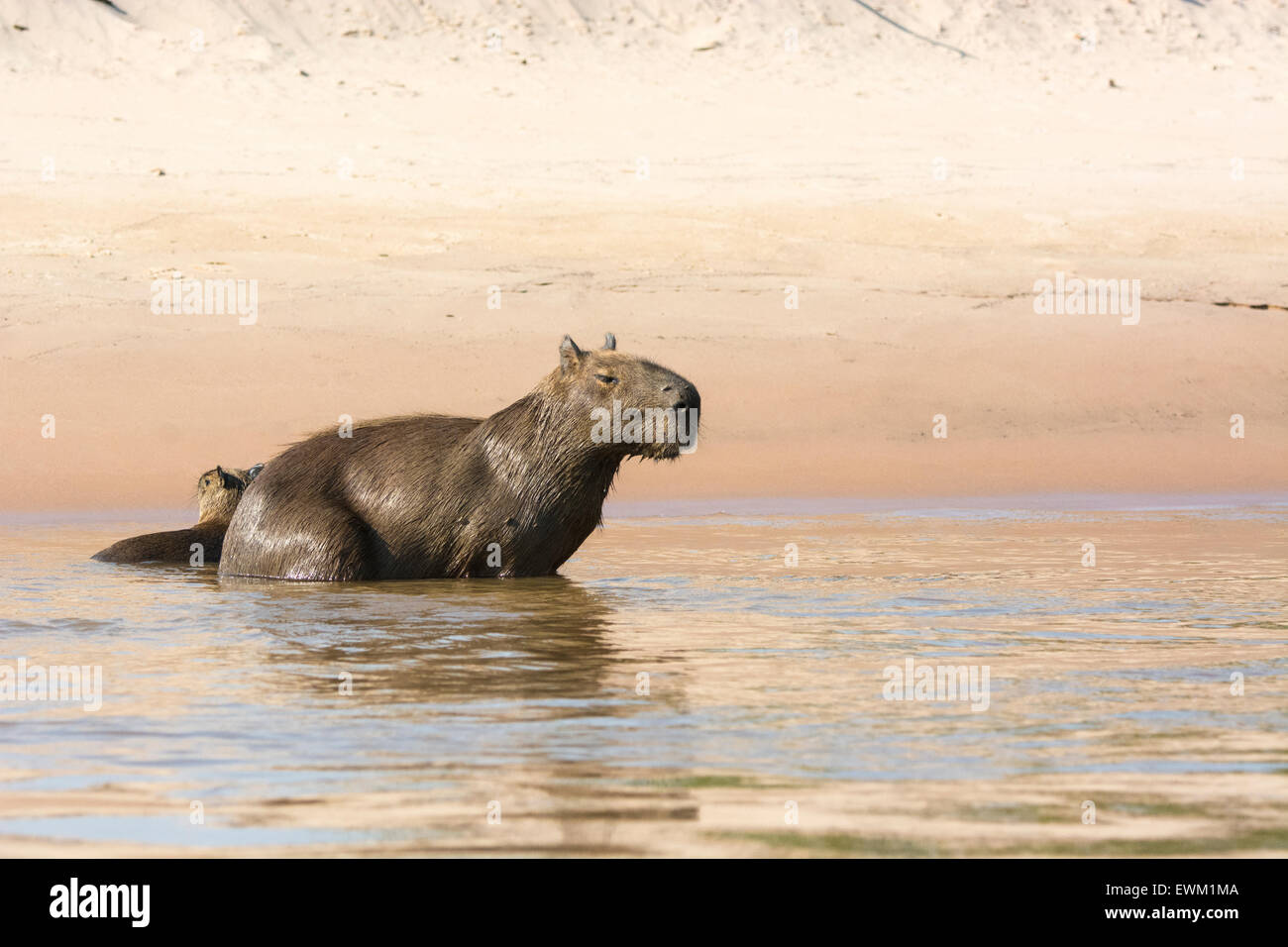Wild, adult female Capybara, Hydrochaeris hydrochaeris, with her pup in a river in the Pantanal, Brazil, South America Stock Photo