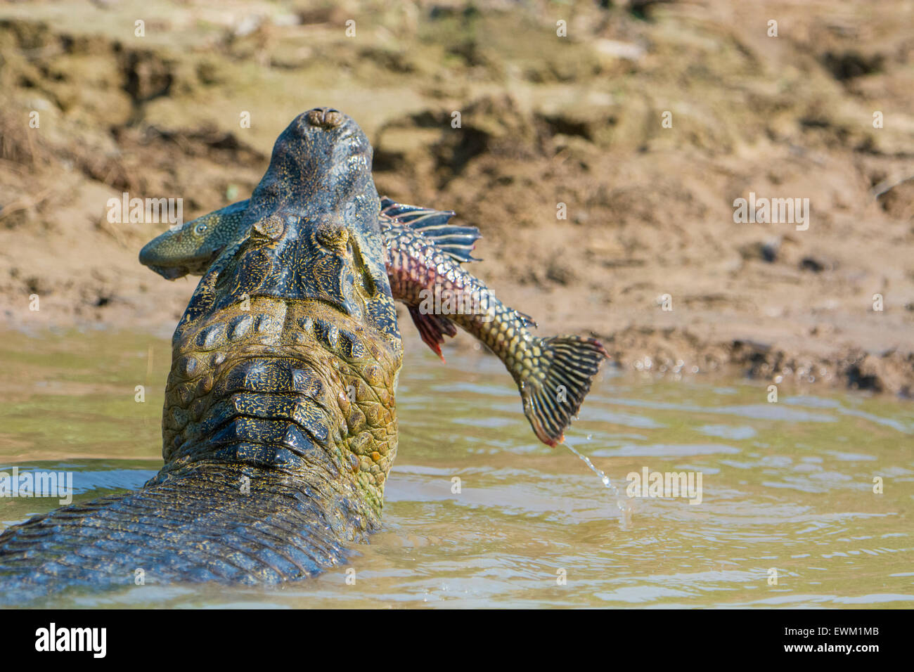 Yacare Caiman, Caiman crocodilus yacare, with a fish in its mouth, on the bank of a river in the Pantanal, Mato Stock Photo