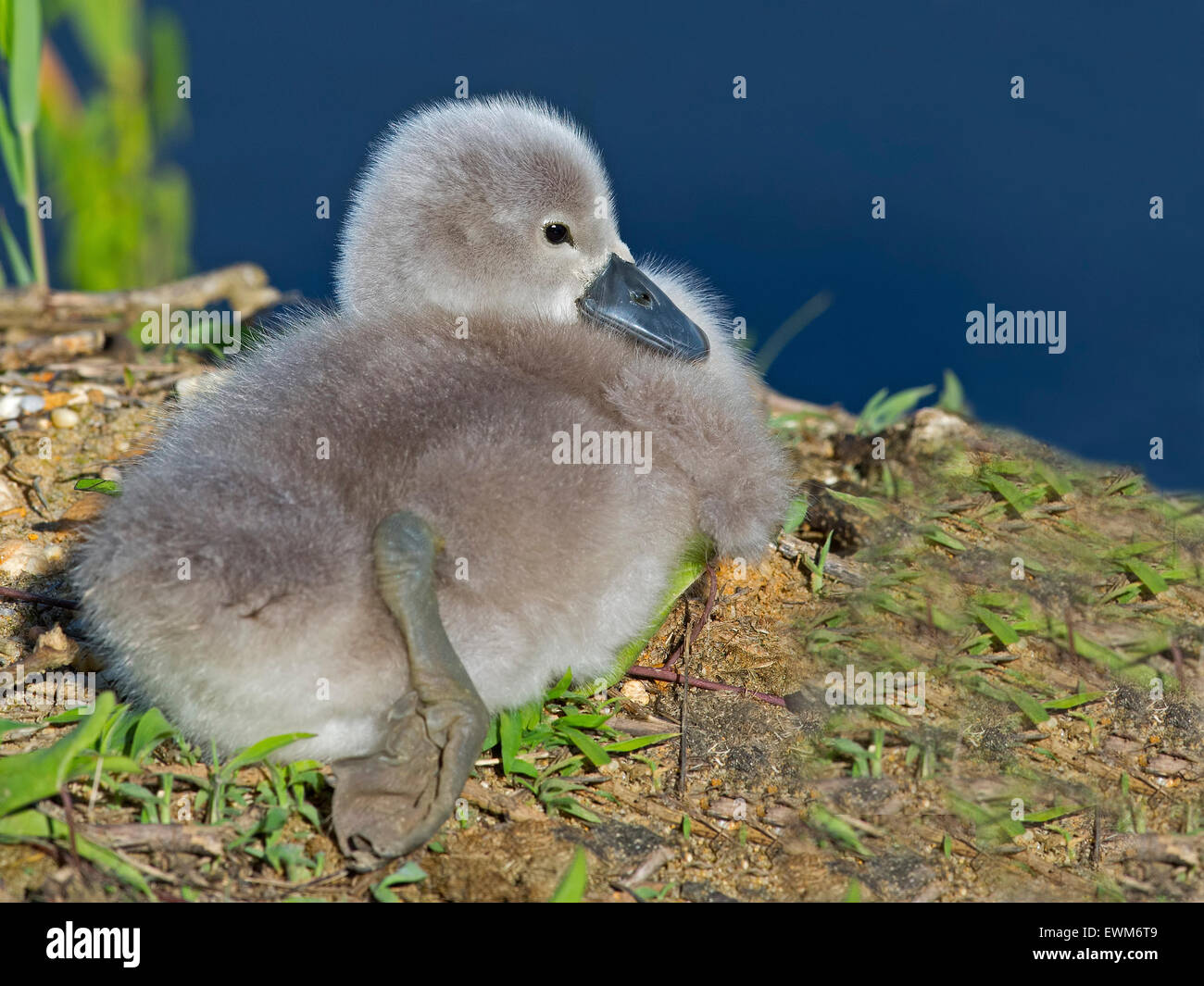 Mute Swan Cygnet Resting on Shoreline - Stock Image