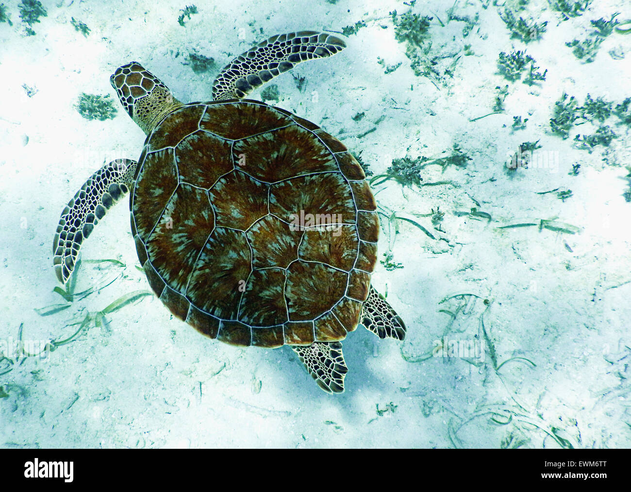 A sea turtle swimming in the waters of Belize. - Stock Image