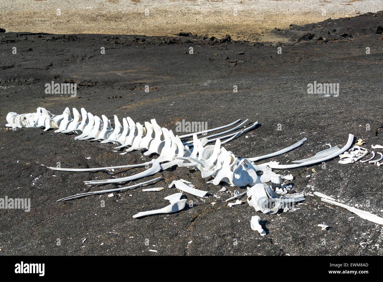 Whale bones on Fernandina Island in the Galapagos Islands in Ecuador - Stock Image