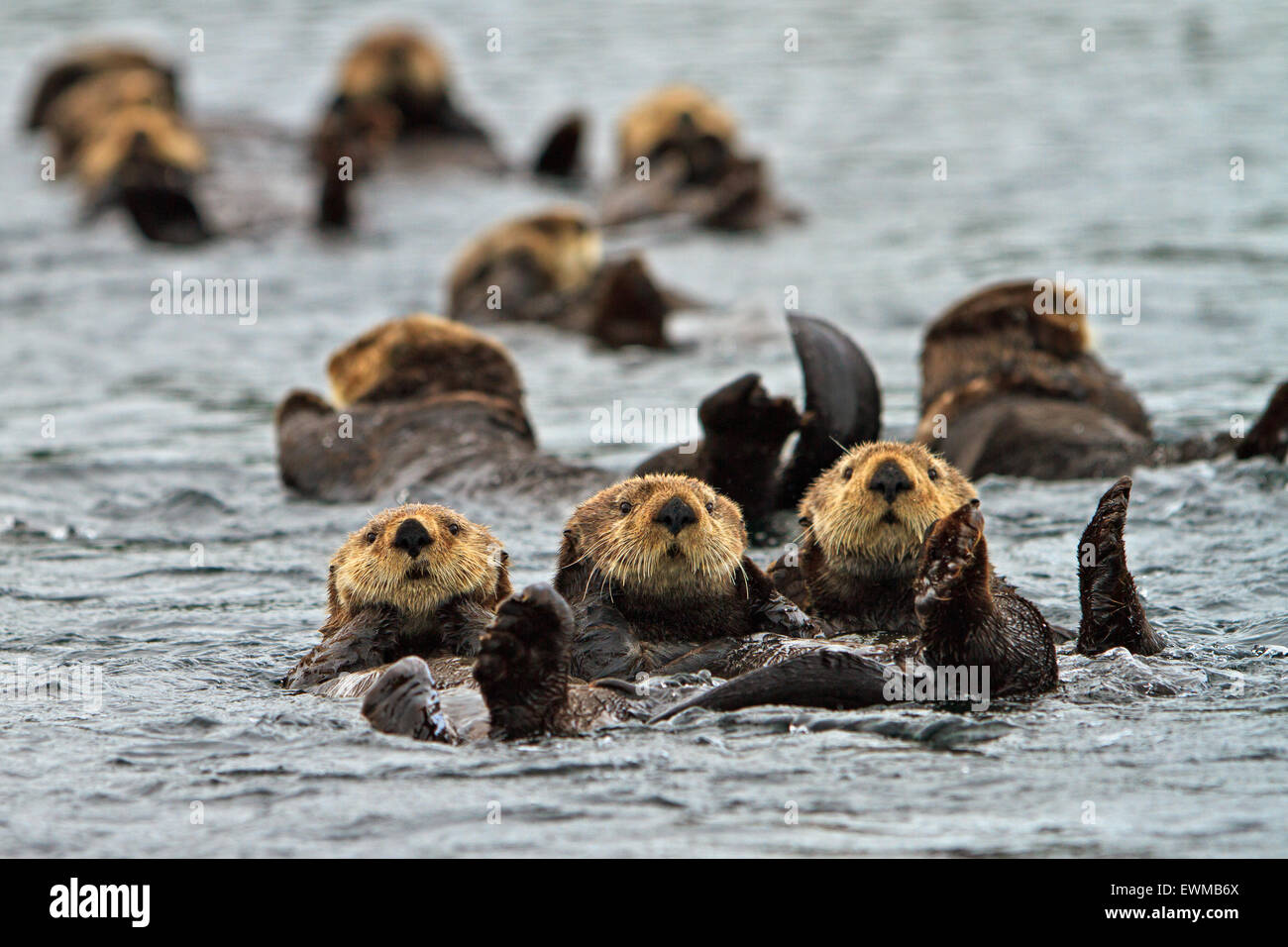 Sea otter, Enhydra lutris, belongs to the weasel family, photographed of the west coast of northern Vancouver Island, - Stock Image