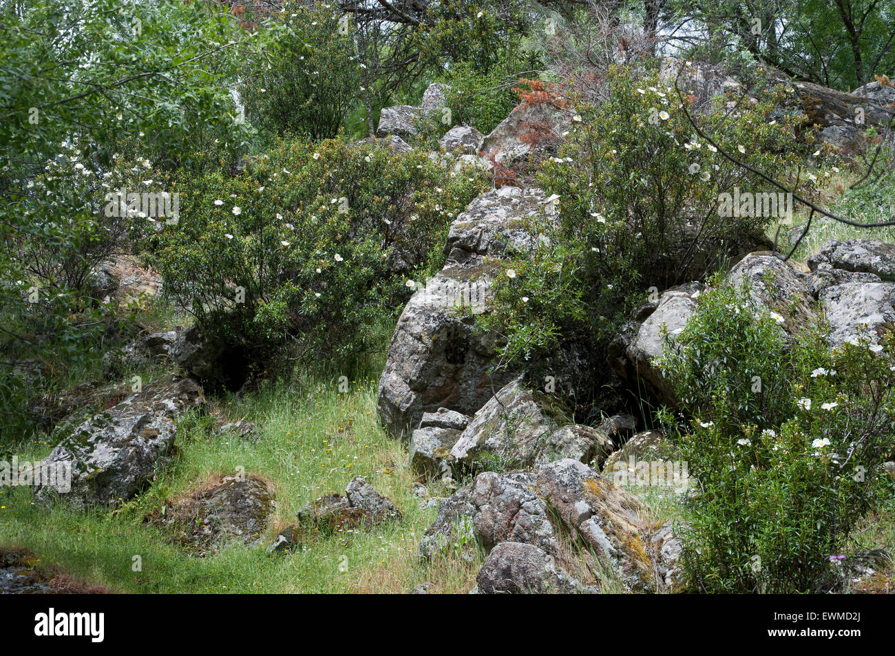 Rockroses growing in a granite mountain. Photo taken in Iruelas Valley Natural Park, Avila, Spain - Stock Image
