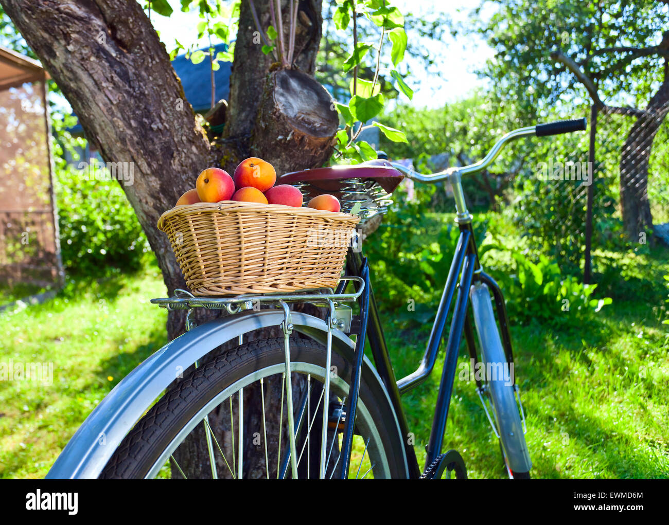 basket of juicy ripe apricots on bike in garden - Stock Image