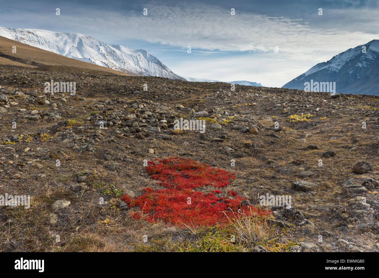 Autumn colored alpine or mountain bearberry (Arctostaphylos alpinus), Paradisdal, Kjerulf Fjord, branch of the Kaiser Franz Stock Photo