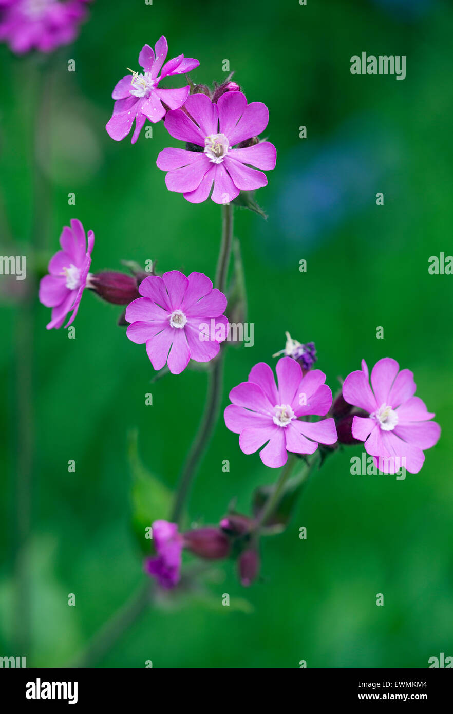 Red Campion Silene dioica Norfolk UK May Stock Photo