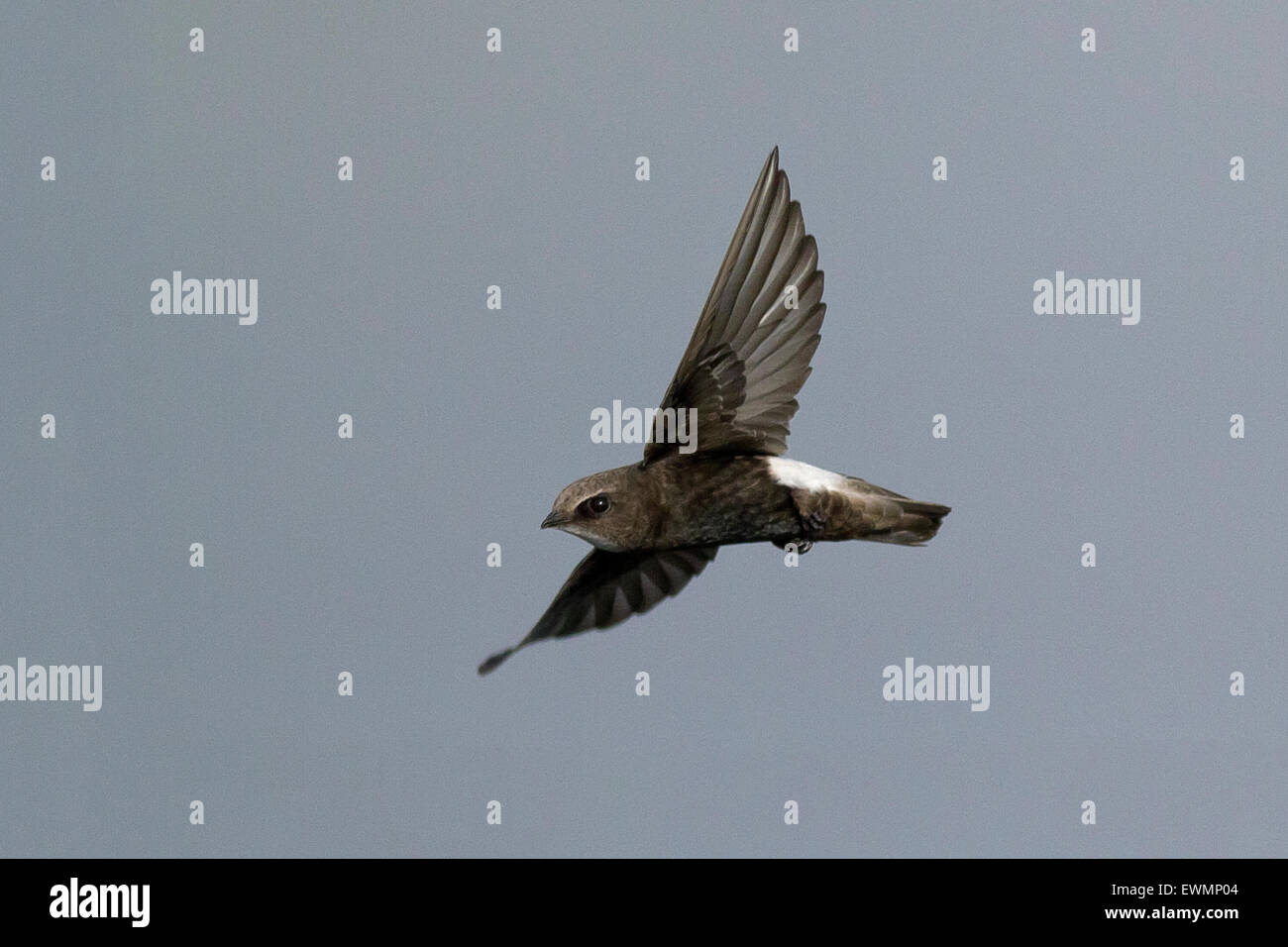 little swift (Apus affinis) in flight - Stock Image