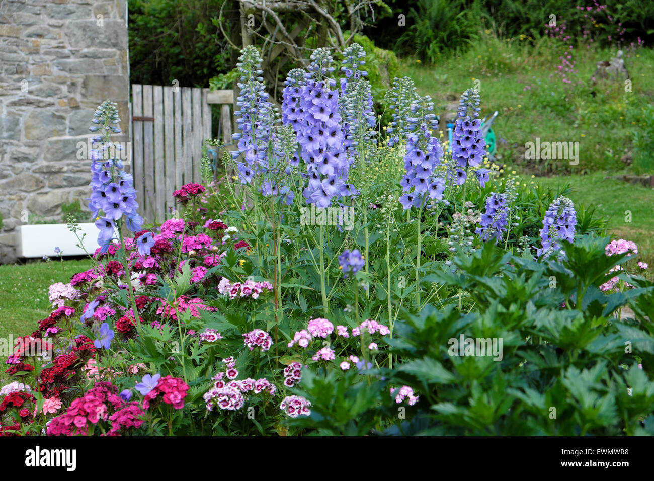 Blue delphiniums and Sweet Williams in bloom growing in a herbaceous border garden bed  in a 'country garden' - Stock Image