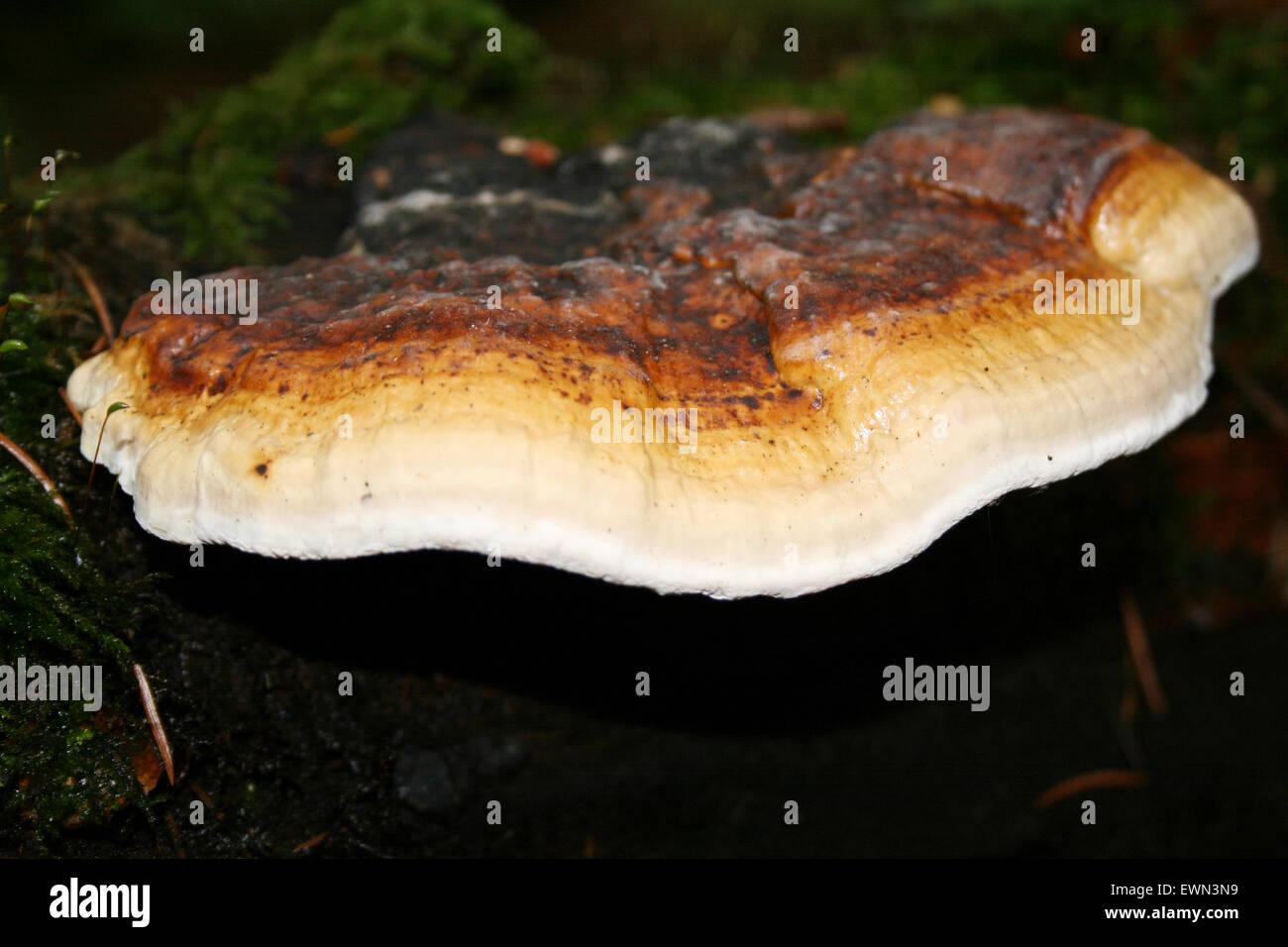 schmetterlingstramete - Stock Image