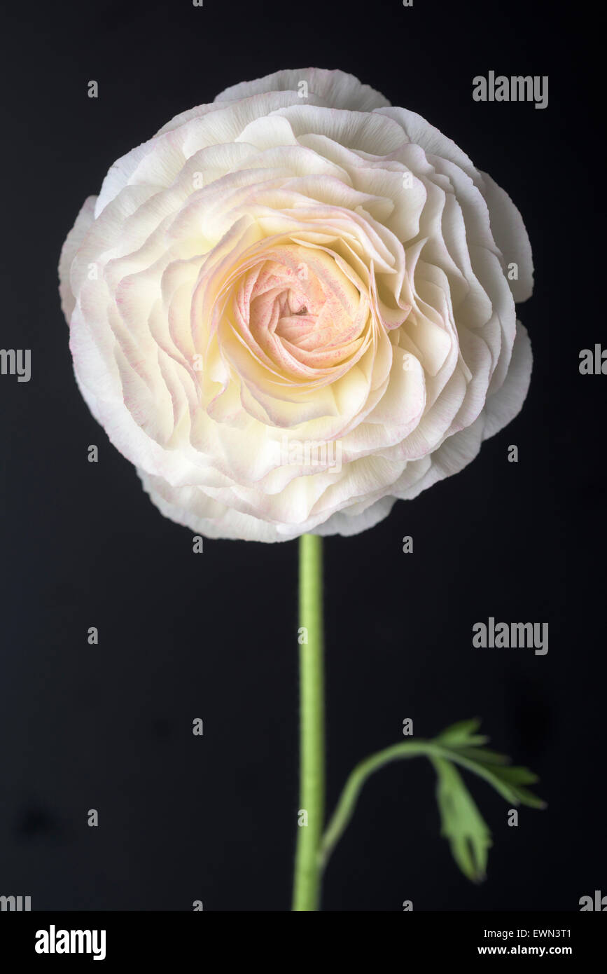 Single bloom of white ranunculus on black background - Stock Image