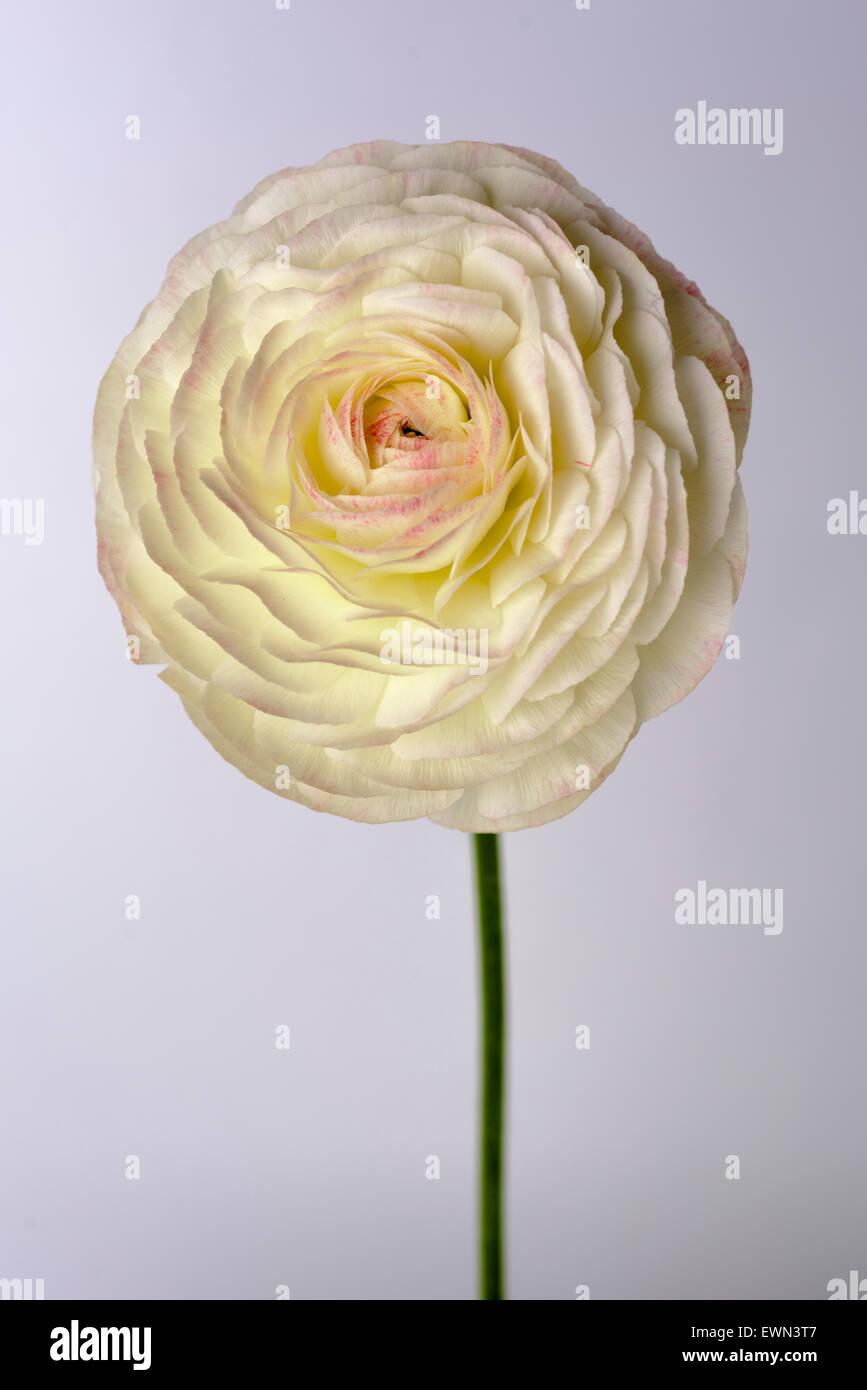White ranunculus on white background - Stock Image