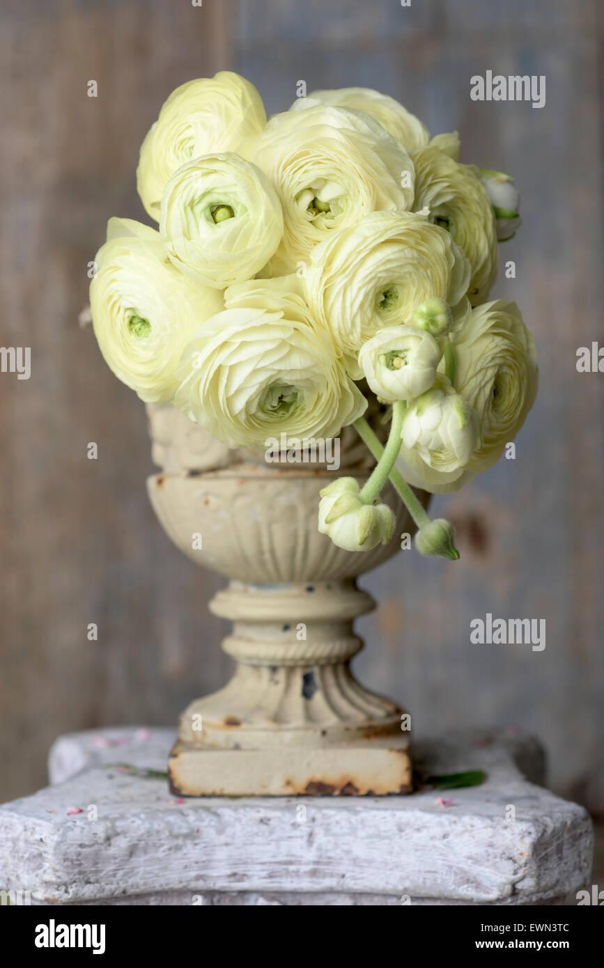 Bouquet of yellow ranunculus - Stock Image
