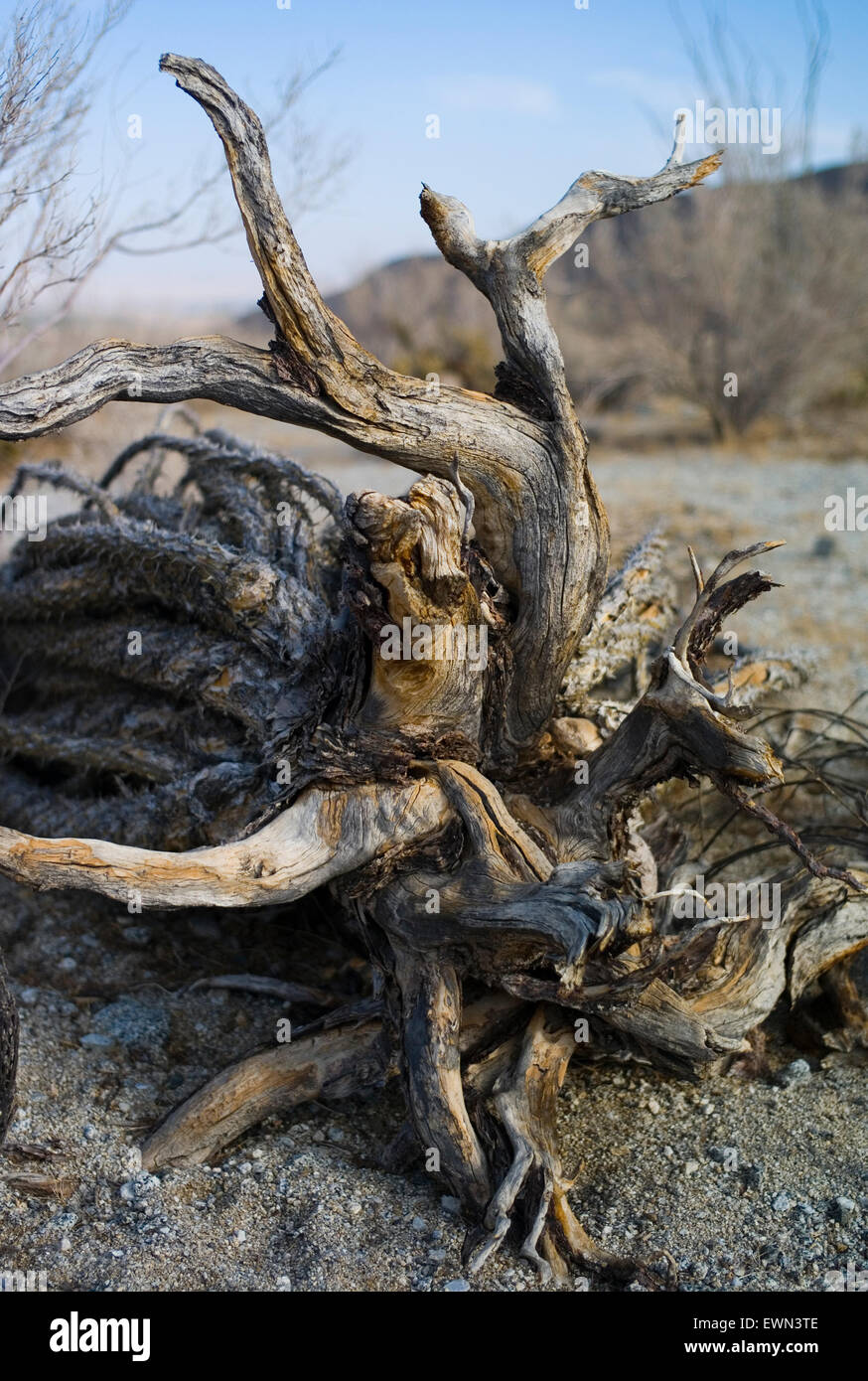 Dead plant and roots, Anza Borrego National Park, California, 2009 - Stock Image