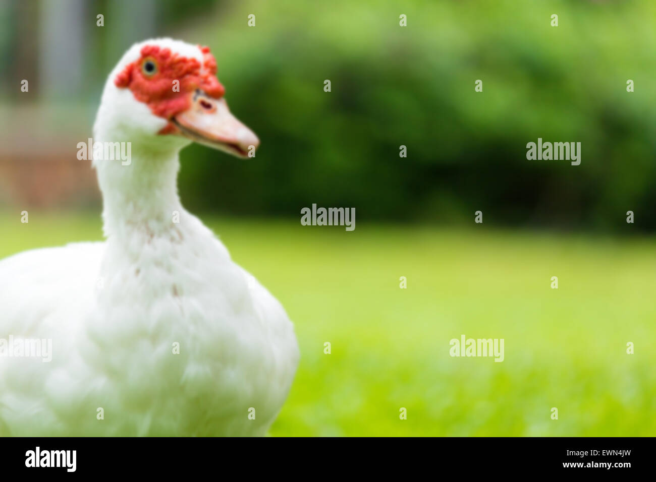 Blur white muscovy ducks on the garden yard Stock Photo