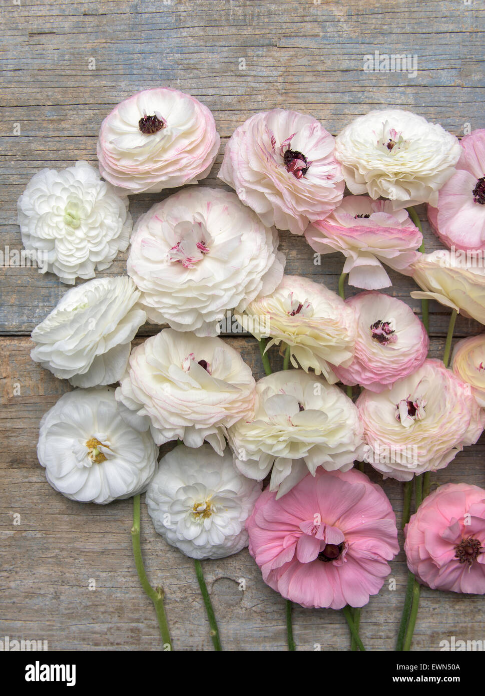 Overhead shot of multi-colored ranunculus blooms - Stock Image
