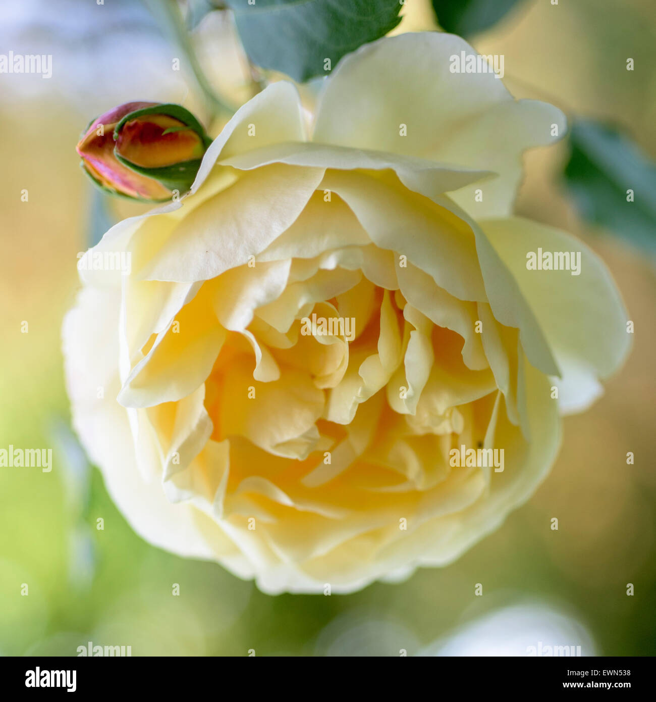 Rosa Graham Thomas, a yellow David Austin rose - Stock Image