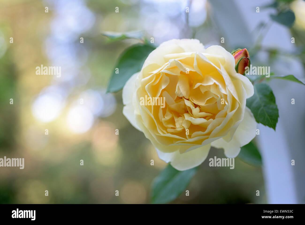Rosa Graham Thomas, a yellow David Austin rose on a garden arbor - Stock Image