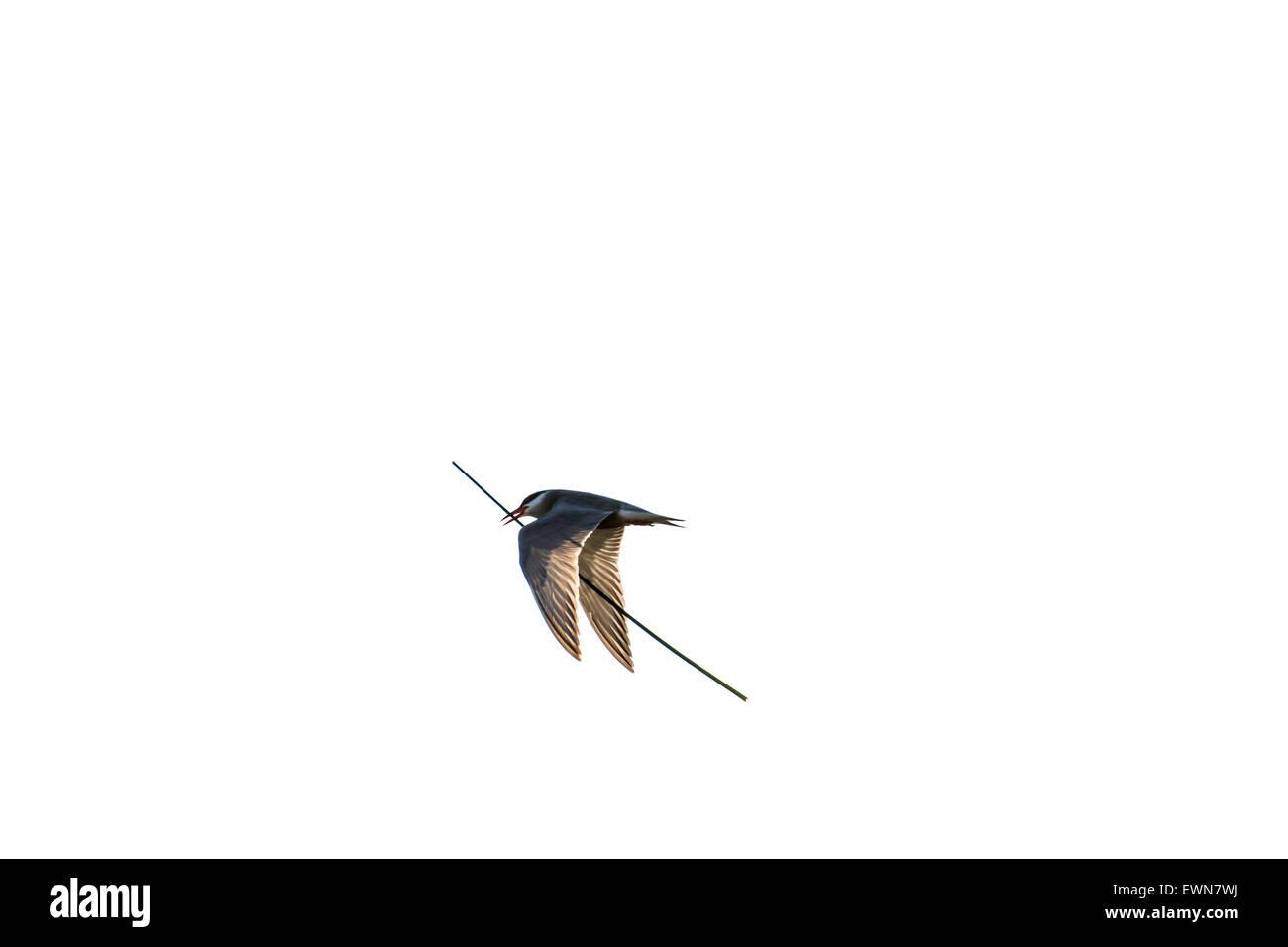 Whiskered tern (Chlidonias hybrida / Chlidonias hybridus) flying with stalk in beak for nest building against white - Stock Image