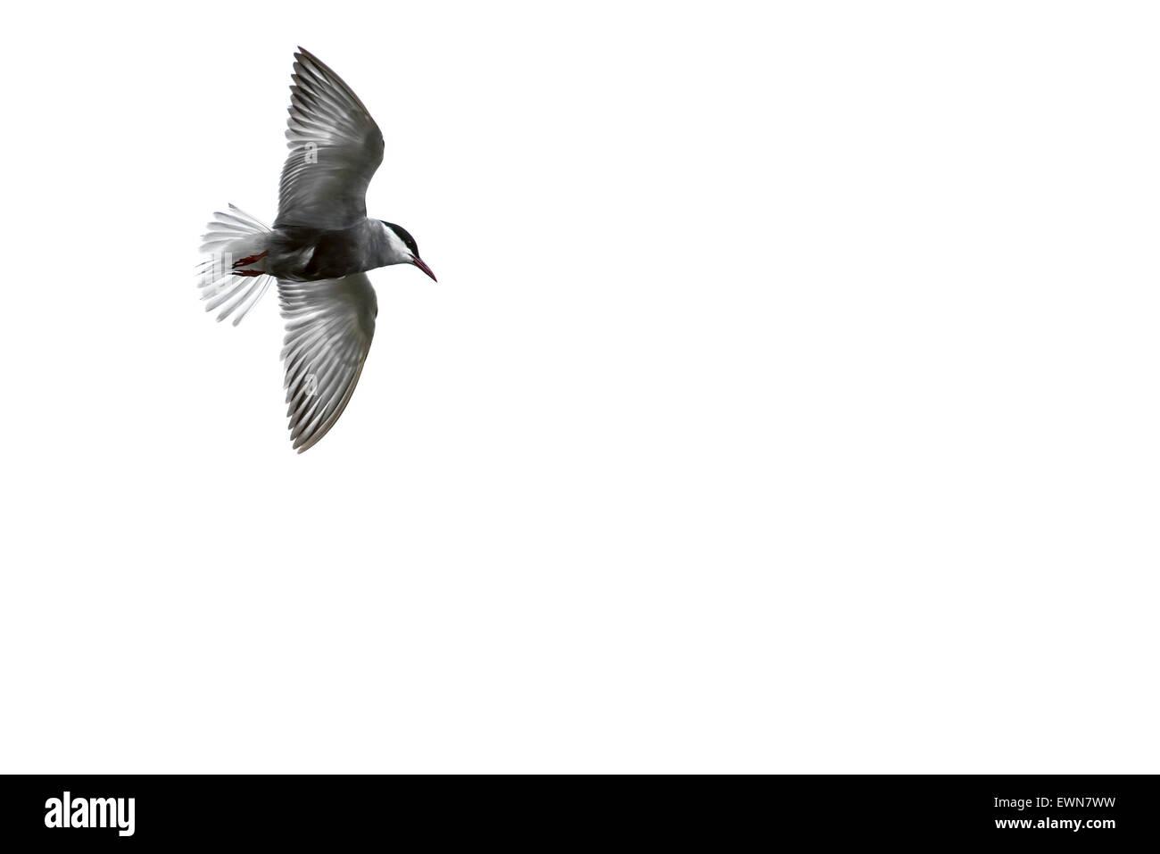 Whiskered tern (Chlidonias hybrida / Chlidonias hybridus) in flight against white background - Stock Image