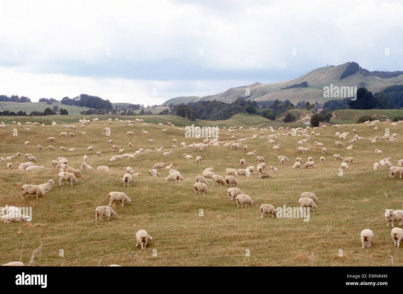 NEWZEALAND LANDSCAPE WITH SHEEP AND MOUNTAINS - Stock Image