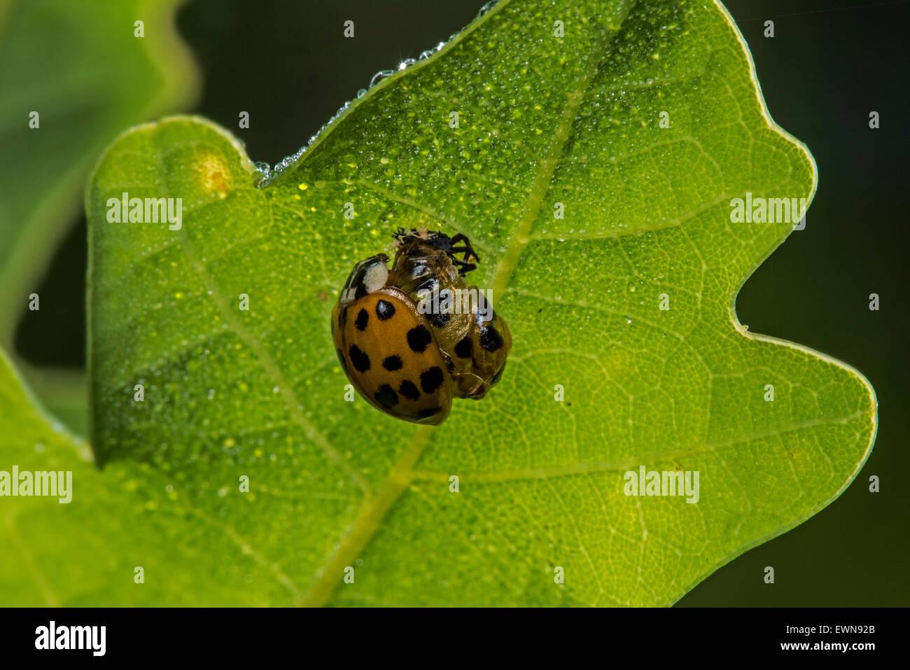 Harlequin ladybird / multicolored Asian lady beetle (Harmonia axyridis) emerged freshly out of its pupa - Stock Image