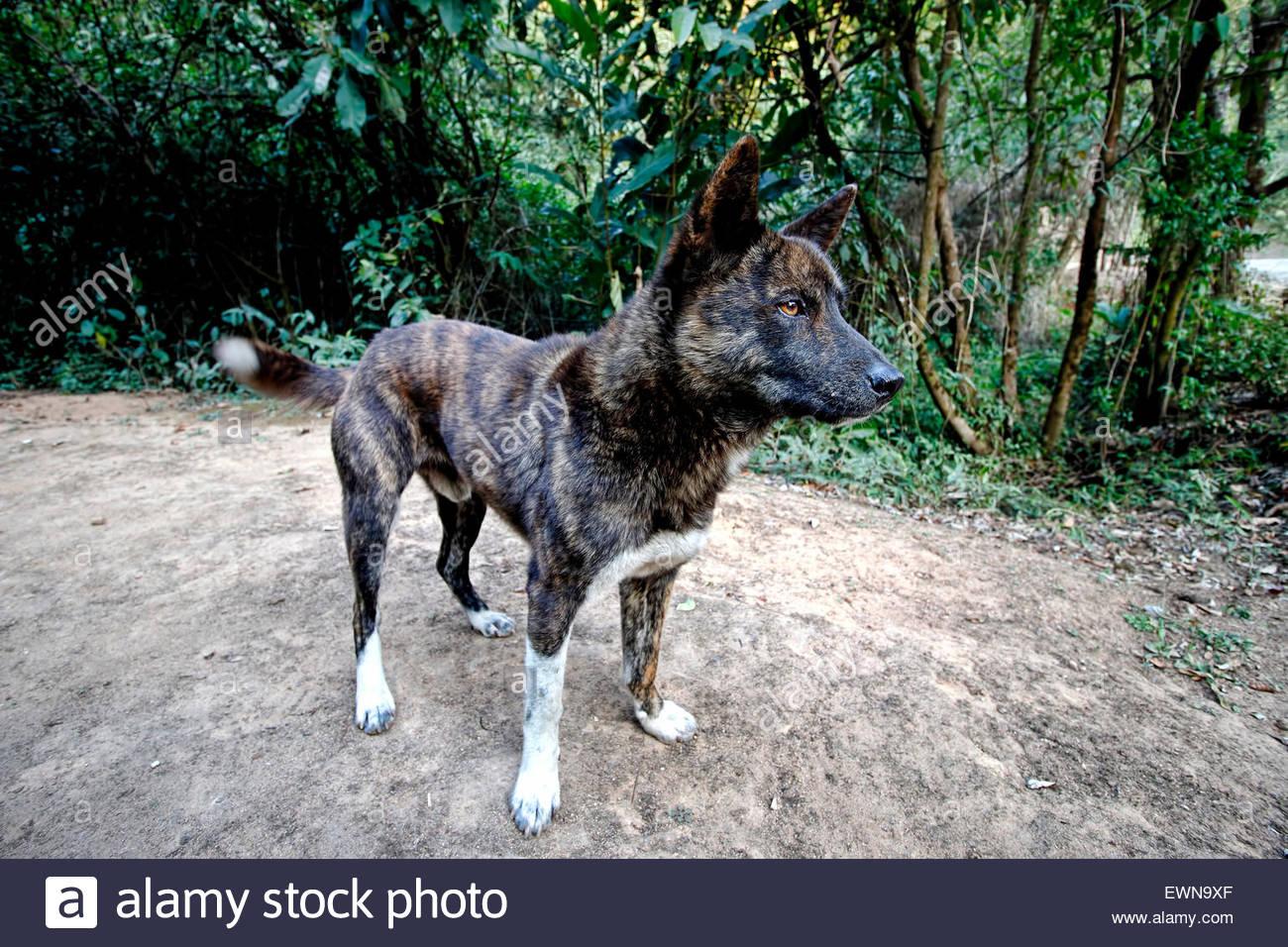Street Dog Tiger Brindle - Stock Image