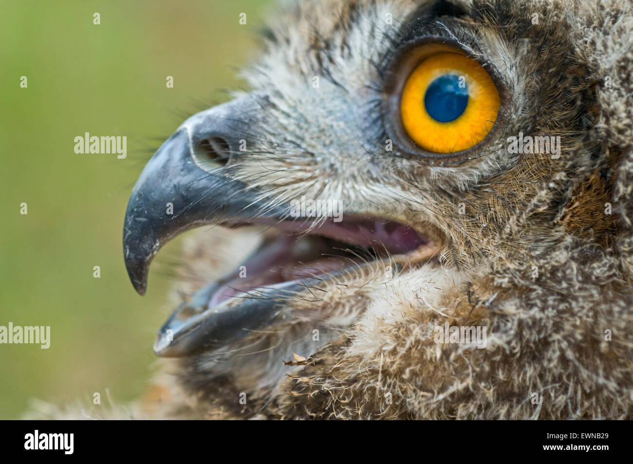 Eurasian Eagle Owl (Bubo bubo), portrait - Stock Image