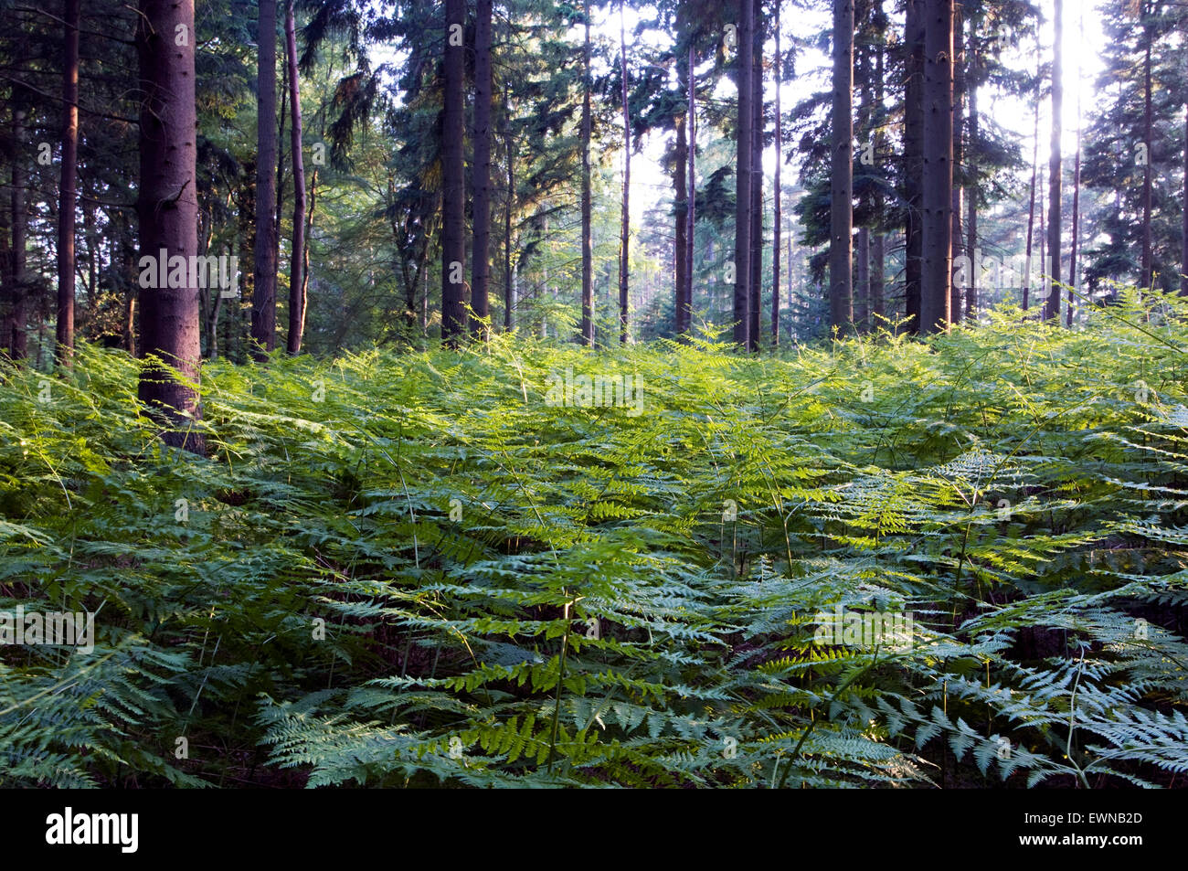 Conifer forest with fern(Osmunda regalis) - Stock Image