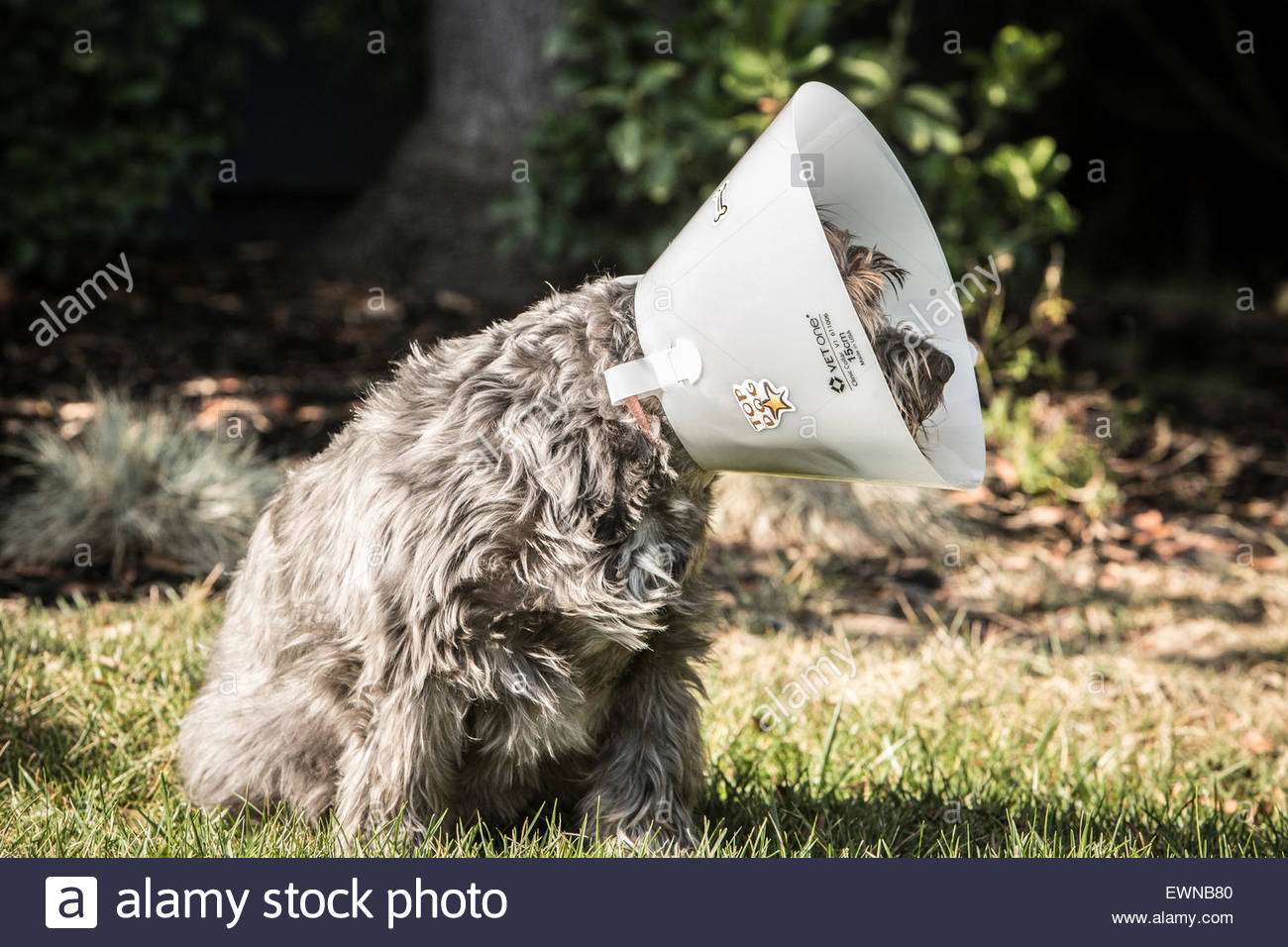 A dog wearing a cone after receiving medical care for an inflamed eye. - Stock Image