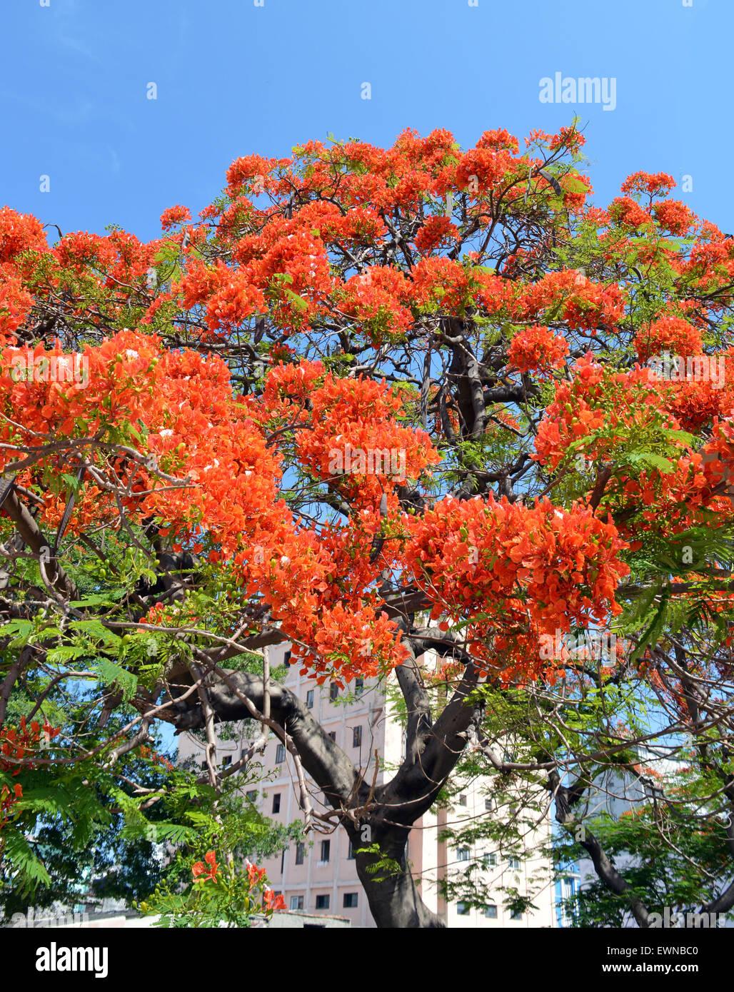 Havana, Cuba: Royal Poinciana Tree (Flamboyán) - Stock Image