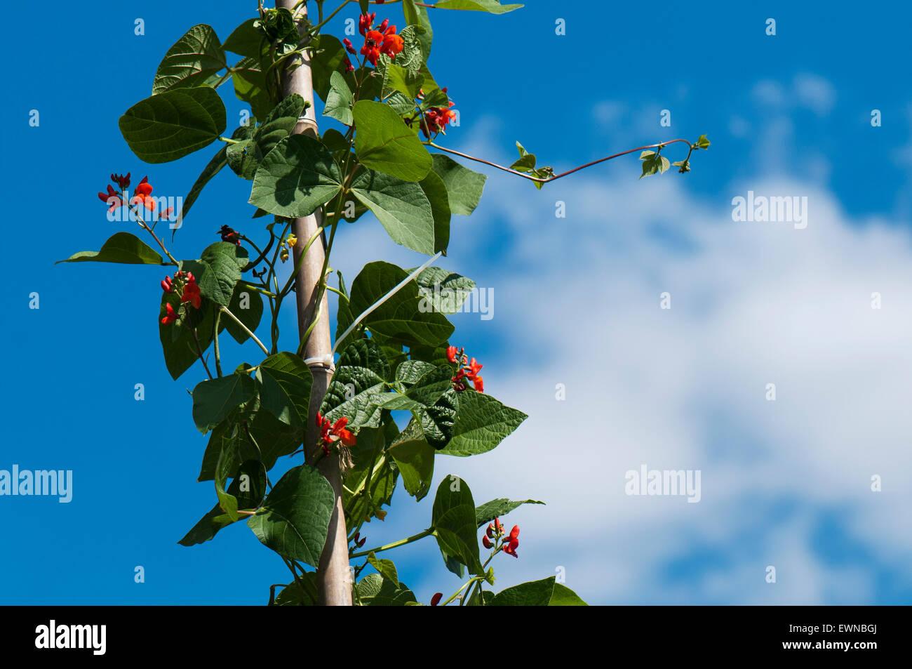 Runner bean [Phaseolus coccineus] on bean pole blooming Stock Photo ...