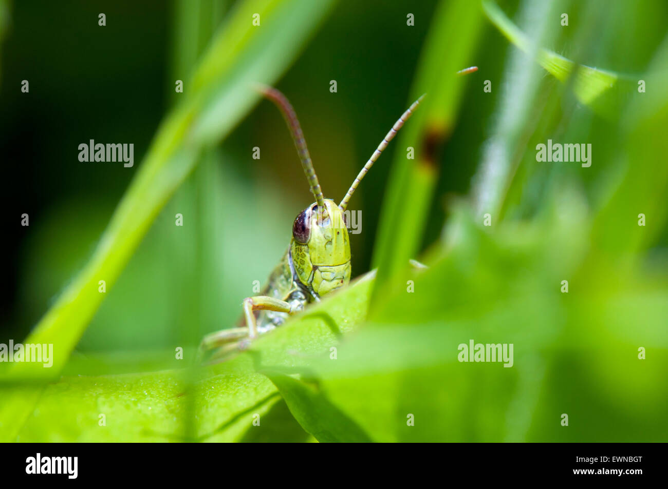 Meadow Grasshopper (Chorthippus parallelus) on gras germany europe - Stock Image