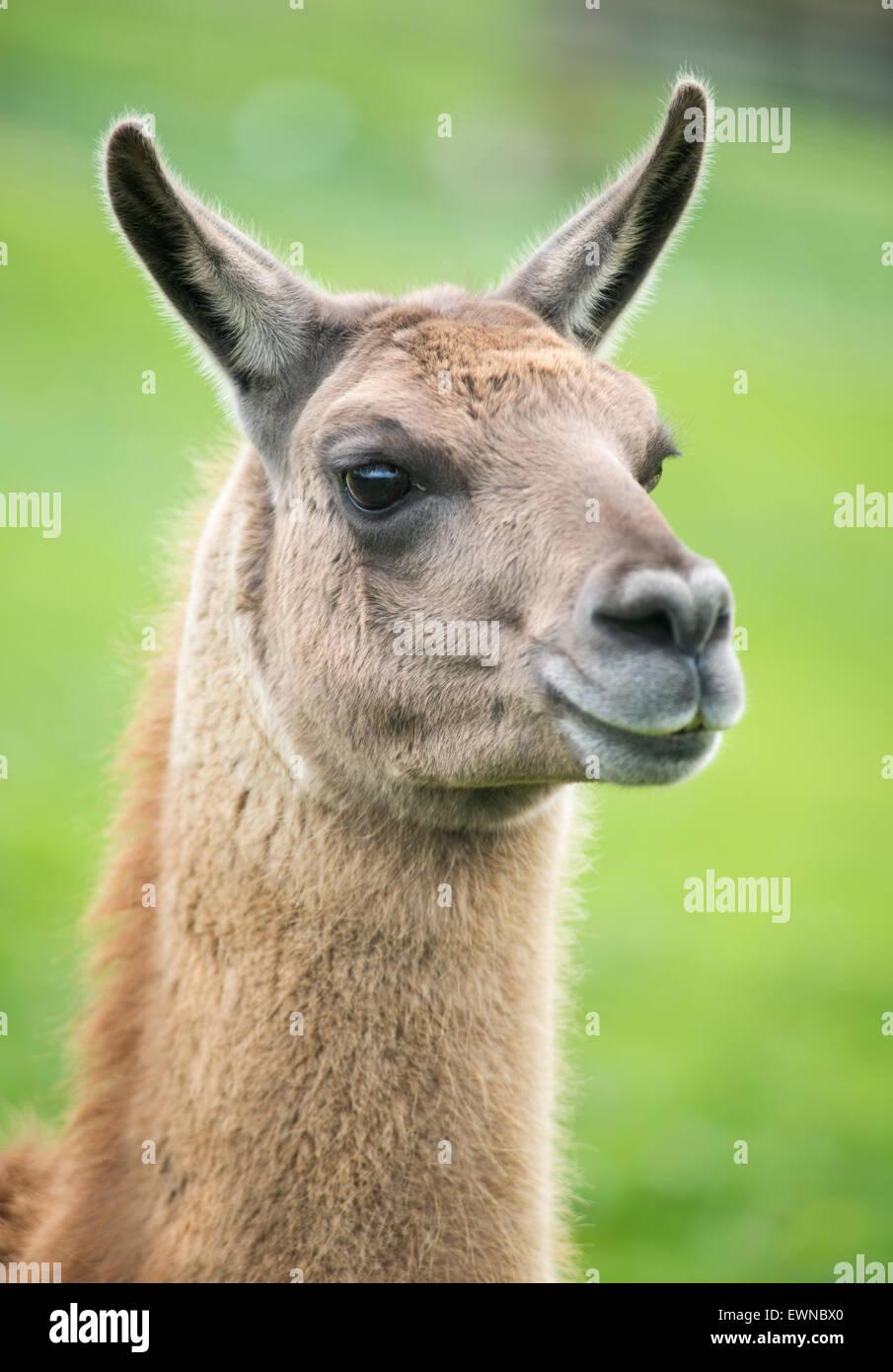 Portrait of a llama (Lama glama) - Stock Image